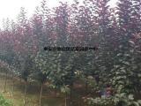 紫叶李基地、紫叶李、亿发园林(多图)
