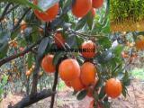 新鲜茂谷柑苗供应 茂谷柑苗低价出售中