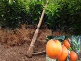 正宗沃柑苗供应商 沃柑苗哪里购买正规有保障