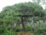 泰山景松价格,泰山景松,亿发园林(多图)