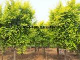 白蜡绿化树,白蜡,亿发园林(图)