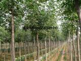 白蜡树价格、白蜡树、亿发园林(图)