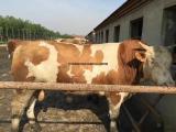 西门塔尔肉牛预混料 西门塔尔肉牛饲料