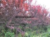 紫叶李 亿发园林 紫叶李基地
