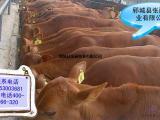 改良小牛种肉牛价格