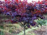 紫叶紫荆树价格动态