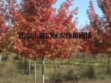 多花蓝果树价格/美国多花蓝果树价格介绍