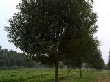 高杆红叶石楠树价格《详情》