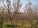 红玉兰树/红玉兰树价格