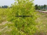 红枫种苗批发供应彩叶丝棉木