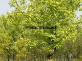 复叶槭树价格/金叶复叶槭价格