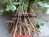 油用牡丹育苗种子榨油籽紫斑1-10年苗