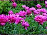 药用芍药—白芍;赤芍;育苗种子1-3年苗