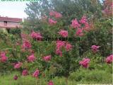 供应速生玫红紫薇 长势块病虫害少 盆栽地栽紫薇苗低价批发