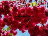 供应台湾牡丹樱 樱花观光园 盆栽地栽樱花 嫁接樱花小苗基地