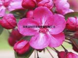 供应红衣主教海棠小树苗基地 观花观果海棠树 盆栽海棠低价批发