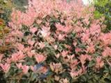 供珍珠五彩桂 桂花小树苗培育基地 盆栽地栽桂花 四季常绿桂花