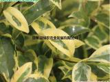 供欧洲彩叶女贞 园林彩叶耐寒树 抗污染强 室内常青观叶植物