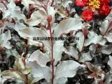 供应丹红紫叶紫薇 花色深红 盆栽紫薇抗污染 庭院小区景观树
