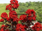 供应火红紫叶紫薇 观花观叶 盆景景桩制作材料 行道彩叶耐寒树