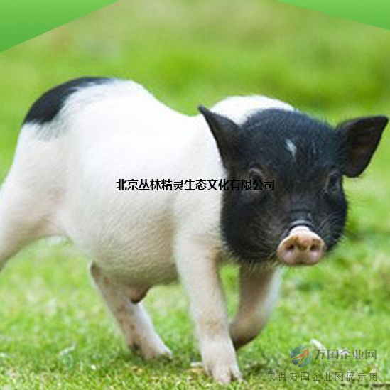 巴马香猪价格北京销售