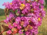 日本乔木紫薇 盆栽地栽观花观叶 长势快花量大 园林彩叶耐寒树