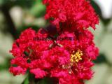 供应美国红火球紫薇 大红紫薇 长势快病虫害少 园林绿化工程苗