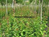 供应速生紫薇2号 长势快花量大 营养袋杯苗  园林绿化工程树