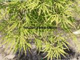 供美国垂枝龙爪枫 自然造型好 适合南北种植 园林绿化小苗包活