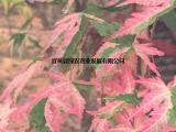 供应幻彩 日本红枫 盆栽地栽 园林彩叶耐寒热 嫁接红枫苗价钱