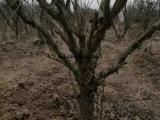 油用牡丹树