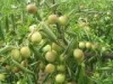 鲜枣批发多少钱一斤
