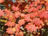 日本枫羽团扇品种介绍 园林秋季观赏树种 耐寒病虫害少嫁接苗