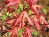 供日本枫赤鸭立泽 盆栽地栽 秋季变色效果好 赤鸭立泽小苗基地