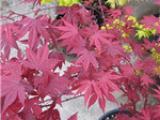 供应火球枫 嫁接日本红枫 庭院绿化美化树 火球枫小苗低价批发