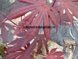 供应古铜枫 血红枫 红舞姬 庭院三季观叶 正宗中国红盆栽小苗