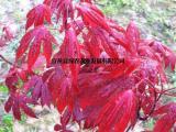 供应火焰枫 日本三季红 石 三季观叶盆栽地栽 火焰枫价钱图片