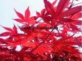供应血红枫小树苗 2017年血红枫小苗价钱 全年日本红枫图片