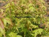 供应金杆枫 赤金枫 日本黄金枫 三季观叶 嫁接金杆枫小苗基地