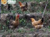 厦门土不啦原生态茶山放养小母鸡