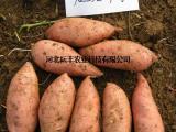 元氏龙薯9号红薯价格 河北龙薯9号红薯批发