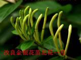 金银花苗改良新品种 北花一号