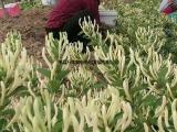 金银花 改良新品种 北花一代