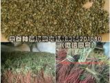 紫丹参种籽批发价格  丹参苗供货电话