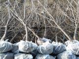 供应5公分吉塞拉5号、吉塞拉6号美早樱桃树苗