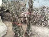 供应1年核桃树苗 80公分高嫁接核桃苗 鲁光核桃树