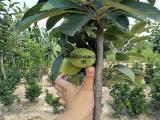 苹果新品种红肉苹果树基地 3公分苹果树 结果苹果树苗