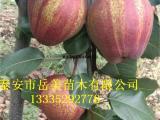 1年嫁接苹果苗 1公分苹果树苗