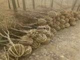 供应1公分2公分石榴树苗 大红袍石榴树品种 3公分土球石榴树