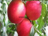 占地8公分桃树 10公分桃树价格